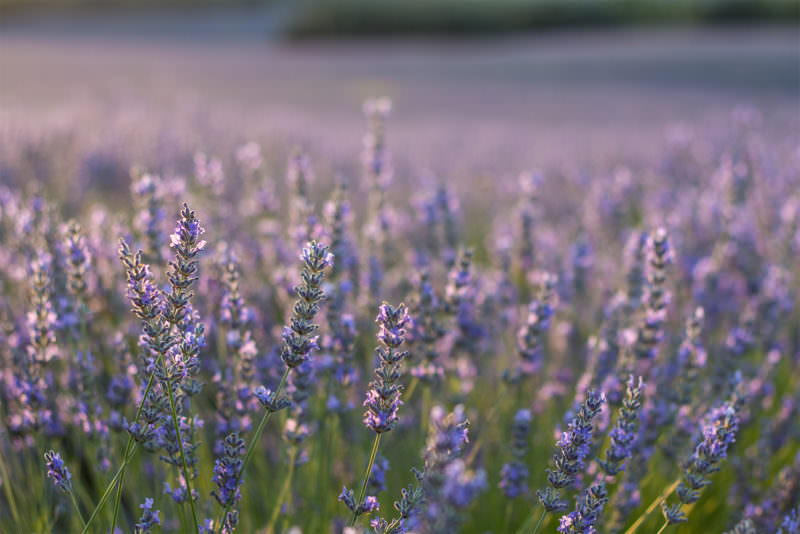 MADRID-COOL-BLOG-LAVANDA-flor