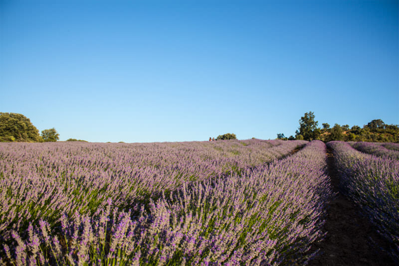 MADRID-COOL-BLOG-LAVANDA-hileras