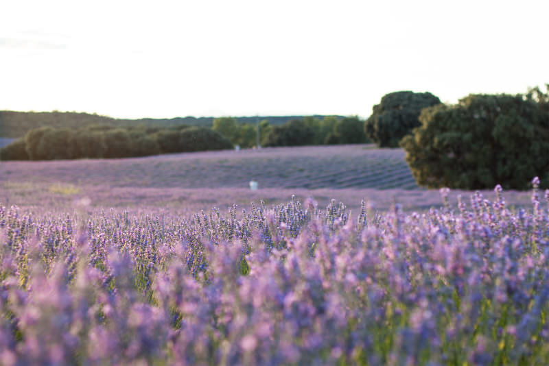 MADRID-COOL-BLOG-LAVANDA-plantas