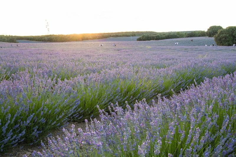 MADRID-COOL-BLOG-LAVANDA-atardecer-G
